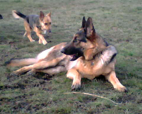 A miniature German shepherd (that could be a breed) seeks Leo's counsel at the dog park.
