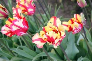 tulips.1 (3)