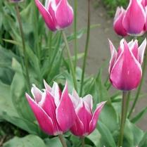 tulips-(11)