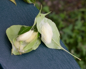 Cocoon bouquet, right before I drown them