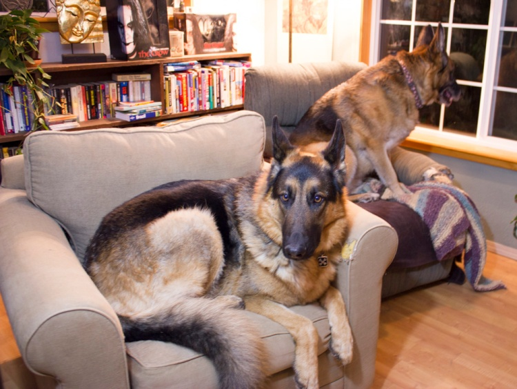 dogs in chairs