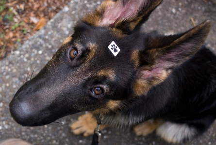 "Wise beyond his months, Leo wears a ""fifth paw"" bindi given to him by Tails-a-Wagging"