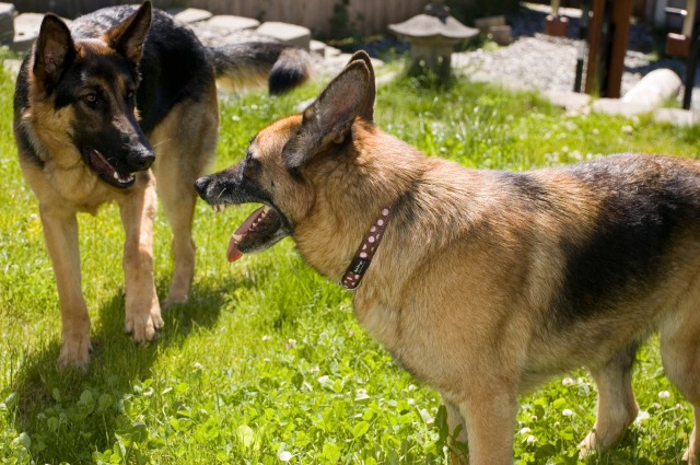 For dogs, getting to know each other sometimes involves lifting an upper lip.