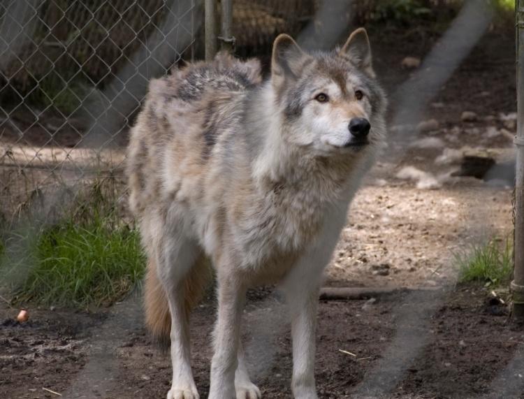 wolf town_3