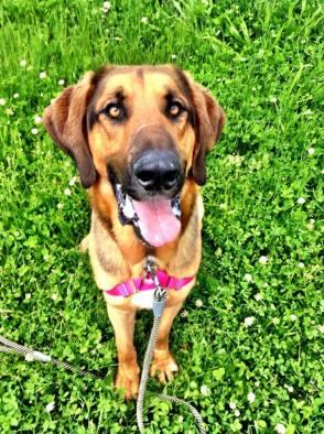 shepherd hound rescue dog