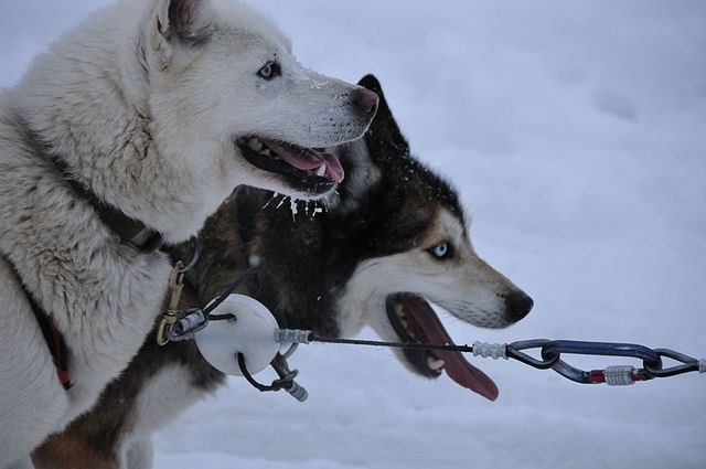 """""""Dogsledatrest"""" by M. Rehemtulla - http://www.flickr.com/photos/quoimedia/5402900681/. Licensed under Creative Commons Attribution 2.0 via Wikimedia Commons -"""