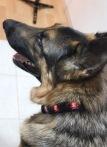 Leo's new collar