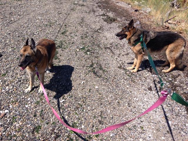tandem-dogs
